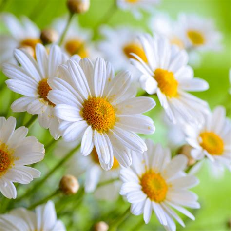 daisy facts green valley floral fun facts about the tulip and daisy
