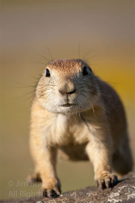 show me dogs black tailed prairie dogs show me nature photography wallpaper litle pups
