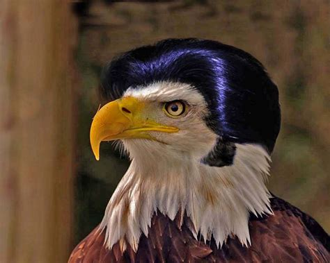 un bald eagle randy s freaky barn animal mash ups