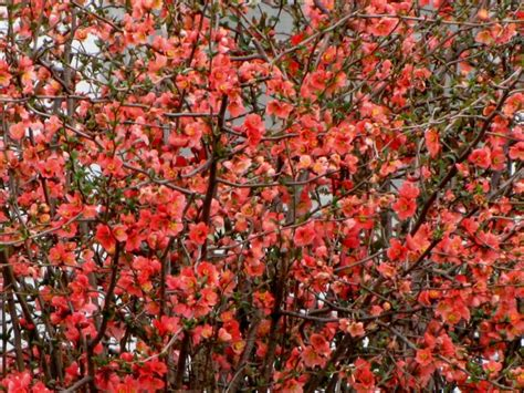 japanese flowering shrubs tulsa gentleman ruby tuesday japanese flowering quince