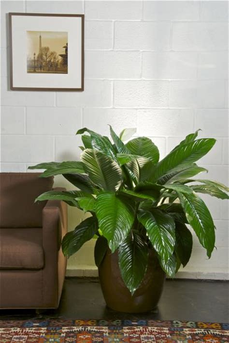 Houston Interior Plants by Houston S Indoor Plant Pot Store Large Spath
