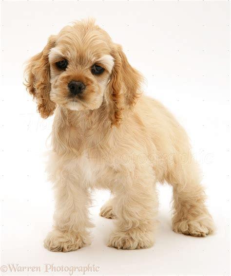 Dog: Buff American Cocker Spaniel pup photo - WP38790