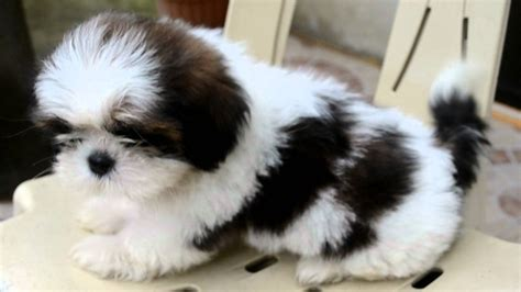 black white shih tzu black and white shih tzu show www pixshark images galleries with a bite