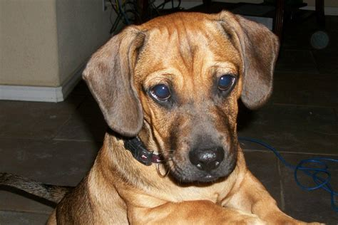 weiner and pug mix information on pug dachshund mix puppies daug daugs peiner dogs pugsunds hubpages