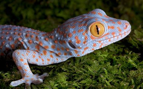 8 tokay gecko hd wallpapers backgrounds wallpaper abyss