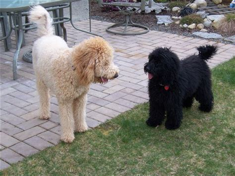 mini labradoodles ontario f1b goldendoodles doodlelane you can really see the