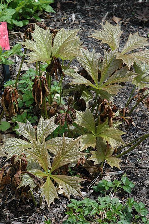 bronze foliage plants bronzeleaf rodgersia rodgersia podophylla bronze form