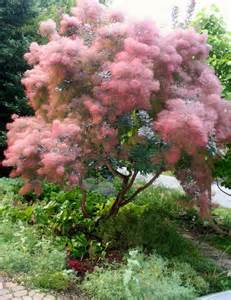 25 best ideas about cotinus on pinterest arbusti