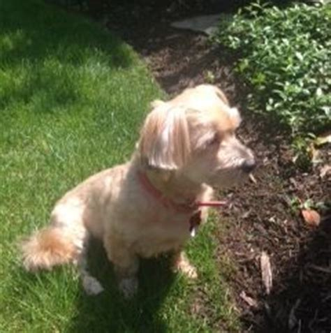 havanese rescue maryland in maryland is available for adoption from havanese