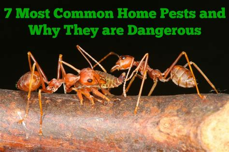common home pests     dangerous