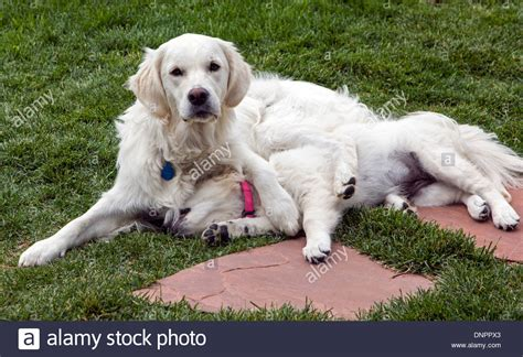 platinum golden retrievers platinum colored golden retriever with puppy 13 stock photo royalty