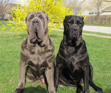 mastiff puppy two neapolitan mastiff dogs photo and wallpaper beautiful two neapolitan mastiff dogs