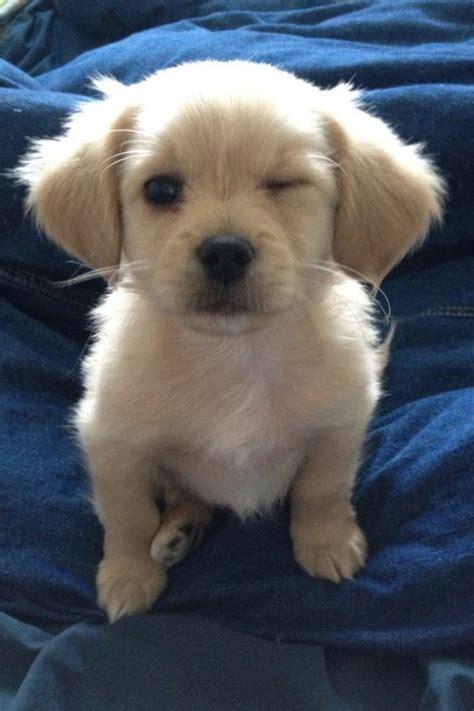 how to love your dog golden retrievers labrador retriever love tumblr