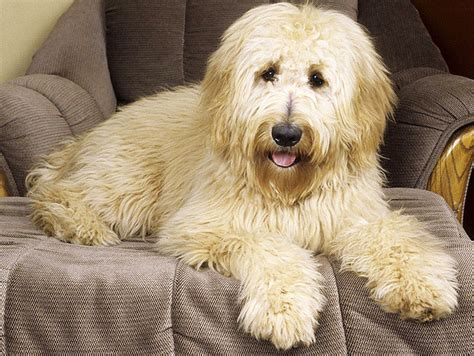 medium sized haired dogs breeds so pets