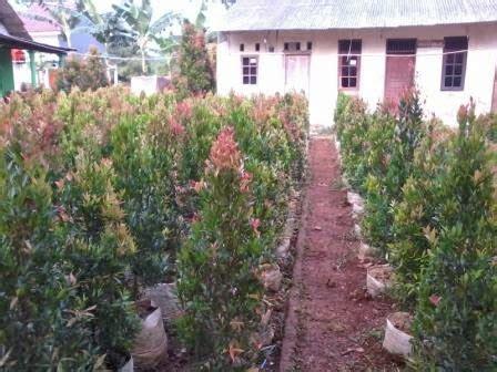 Bonsai Pohon Pucuk Merah jual pohon pucuk merah bonsai pucuk merah kerucut jual tanaman hias