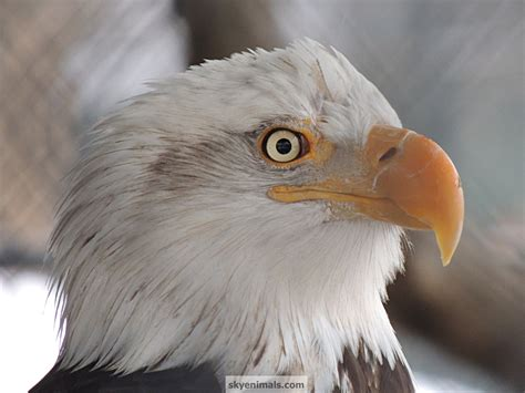 Free Bird Wallpaper Images Eagle Coloring Pages Free