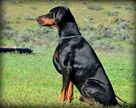 doberman pinscher puppies for sale in florida 25 best ideas about doberman puppies for sale on doberman for sale