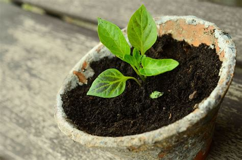 Free Photo Plant Young Plants Small Plant Free Image Garden Vegetable Plants