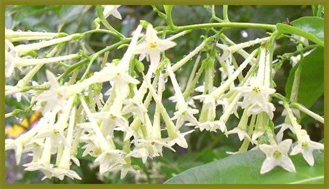 night blooming jasmine fragrant cestrum plant white flower