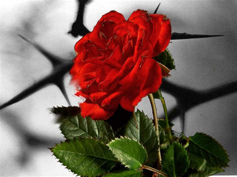 Roses and thorns daily dew devotional