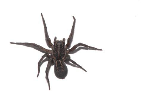 black house spider the nature of robertson anni s black house spider