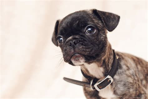 pug puppies for sale in binghamton ny shih tzu chihuahua mix puppy for adoption in providence rhode island pets world
