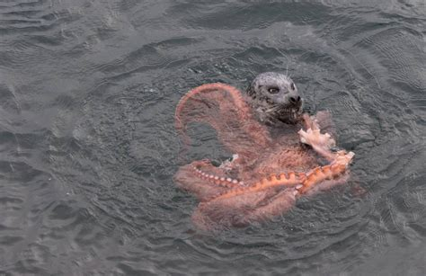 incredible fight between seal and octopus caught on camera