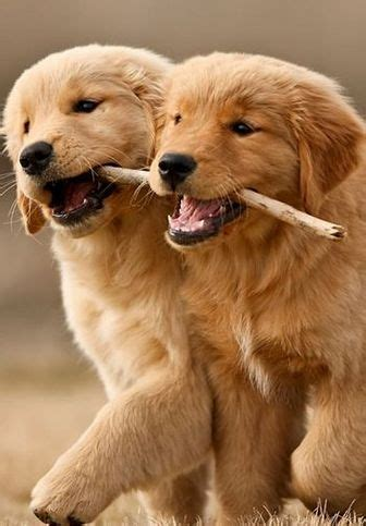 two golden retriever puppies 31 best images about puppy on puppys lab puppies and puppy photos