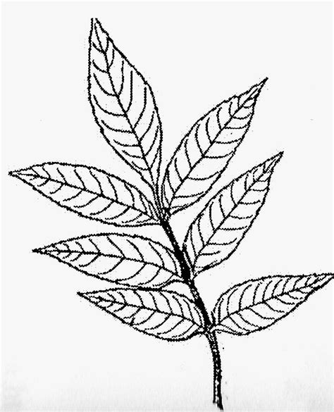 ash leaf coloring page kinderart com opposite compound leaves coloring pages