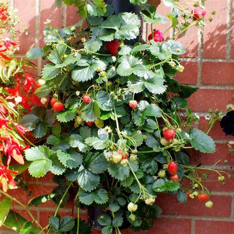 can you buy plants on amazon 画像 ベランダにイチゴの木 ベランダグリーンはタワーにするのがオススメ naver まとめ