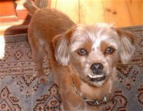 min pin shih tzu pin tzu miniature pinscher x shih tzu mix info temperament puppies pictures