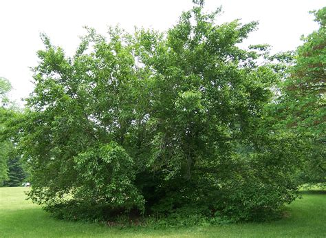 american tree file american beech fagus grandifolia jpg
