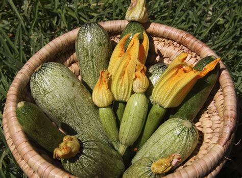 coltivare le zucchine in vaso come coltivare le zucchine in vaso sul balcone non sprecare