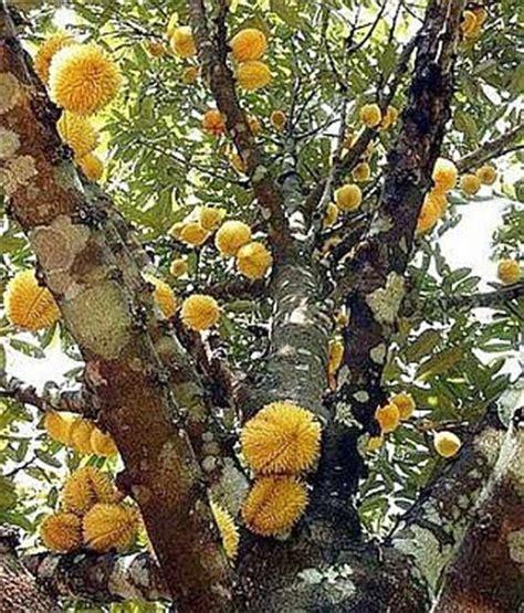 Bibit Durian Musang King Bersertifikat buah durian paling unik di dunia