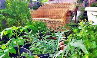 Benih Bibit Herbs Parsley Maica Leaf T1910 jual benih tanaman herbs