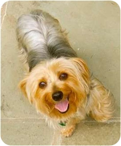yorkie rescue florida yorkie rescue jax fl breeds picture breeds picture