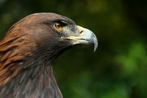 Humm3r Eagle Black With Real Pic bird of prey