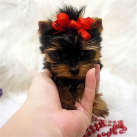 teacup mini yorkie 25 best ideas about teacup yorkie on mini yorkie yorkie dogs for sale