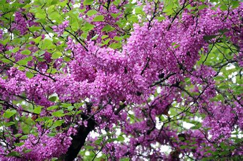 alberi con fiori albero di giuda cercis siliquastrum alberi il