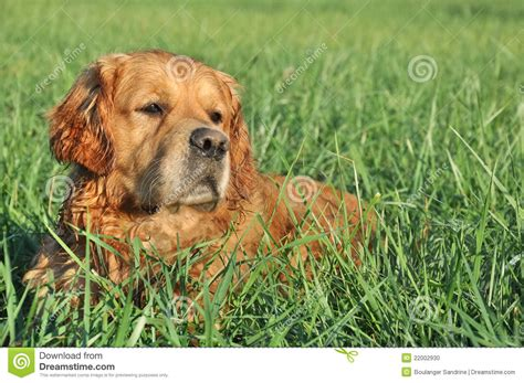 green golden retriever golden retriever in green grass stock photo image 22002930