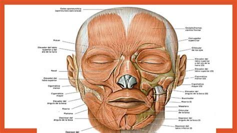 de la cabeza a musculos de la cabeza