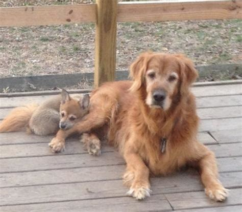fox golden retriever my golden retriever made friends with a baby fox today after i took this picture
