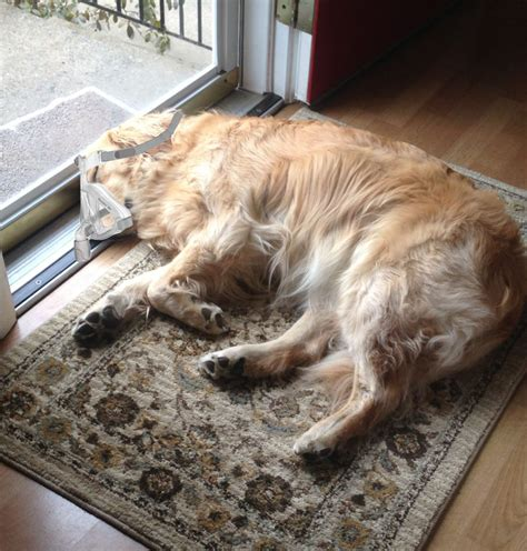 how to make your puppy sleep sleep apnea in dogs the cpap shop