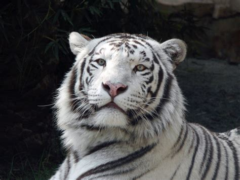 white tiger pictures amazing white tiger wallpaper wallpaper pictures