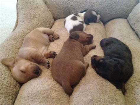 puppies sleeping dachshund puppies sleeping teh