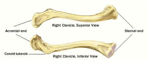 diagram of the clavicle labeled diagram of clavicle labeled free engine image