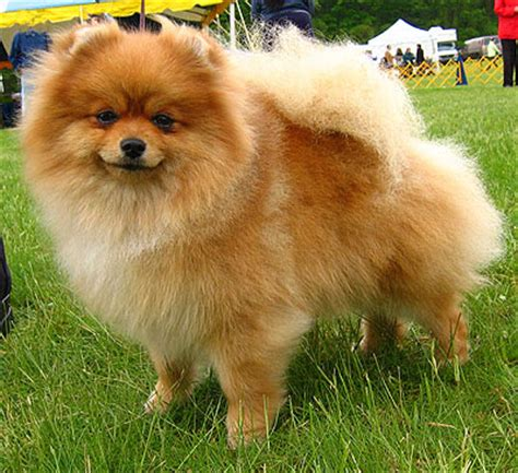 where are pomeranian dogs from breeds may 2012