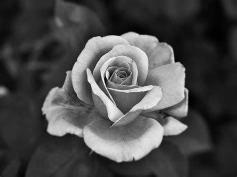 google images black and white rose photography black and white google search flores