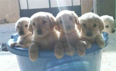 free puppies in md akc golden retriever puppies for sale adoption from mechanicsville maryland adpost
