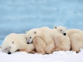 Polar of polar bears polar bears pictures polar